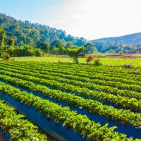 Beautiful landscape strawberry field and farm